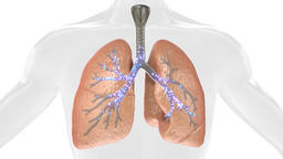 3D Animation Of Pulsating Lungs In The Human Body. Concept Of The Disease. Loop Footage