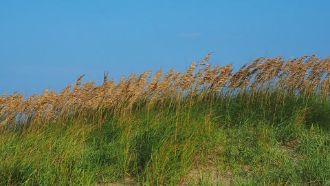 Sea Oats on Windy Beach Archivo