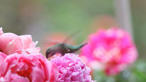 Hummingbird feeds in pink peonies Footage