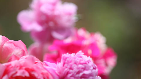 Peonies with hummingbird Footage