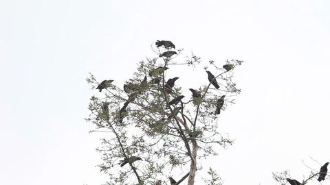 Group of crows squawking in tree Footage