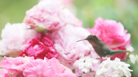 Hummingbird with petunias and peonies Footage