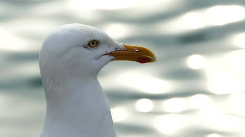 Seagull looking out over a glistening sea Footage
