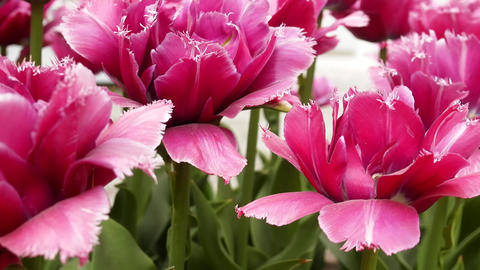 pink Tulip flower is a favorite and bright Live Action