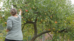 Woman is picking apple straight from the tree Footage