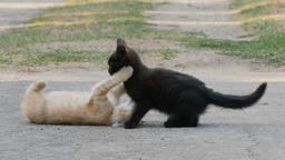 Two, young and funny kittens are playing together Footage