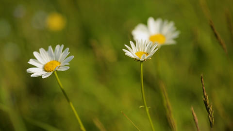 Chamomile flowers on green summer meadow high in mountains, natural herb blossom Live Action