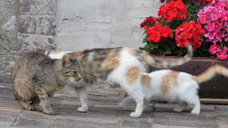 Cat family. The three-color mom cat and her two cats... Stock Video Footage