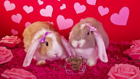 Valentine 's day animal pet rabbit valentines concept Footage