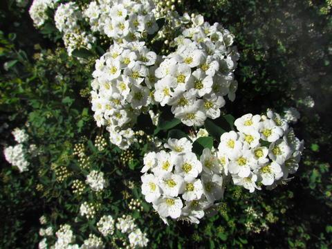 Spiraea alba, meadow-sweet, white hedge blossom closeup フォト