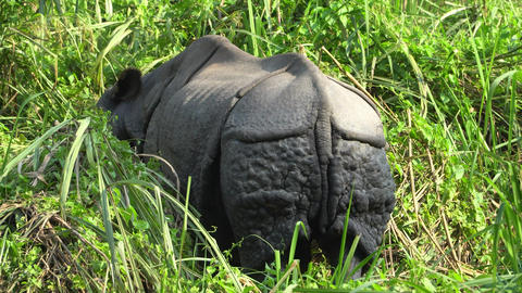 Asian rhino eating green Grass. Chitwan National Park, Nepal Footage