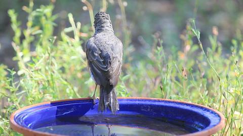 American robin after a bath Footage