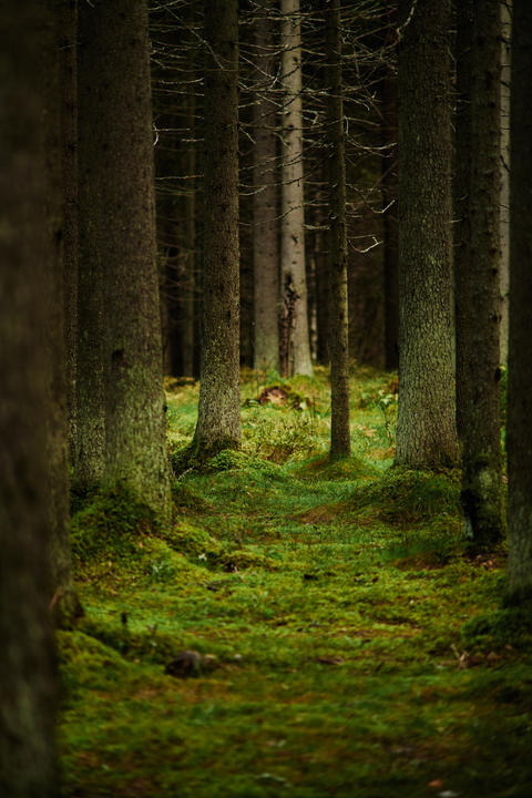 Sunlight streaming through a pine forest Photo