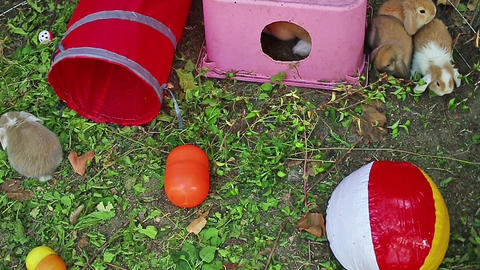 Outdoor. Animals rabbits playing. Rabbit Lop animal Play time Live Action