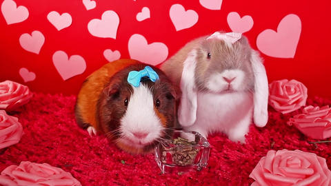 Valentine s day cute animal animals pet pets rabbit lop valentines concept Live Action