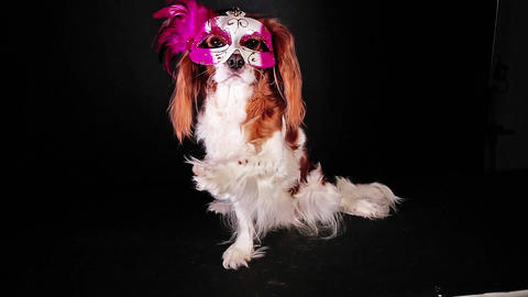 New year Carnival pet party dog mask funny clip new year s eve Live Action