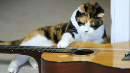 Slow motion of calico cat sitting by guitar, playing black string toy, smelling ビデオ