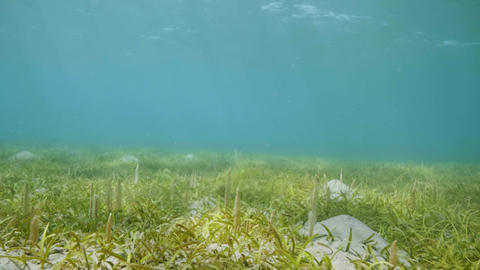 Underwater sea landscape with green seaweed and water plants. Underwater world Footage