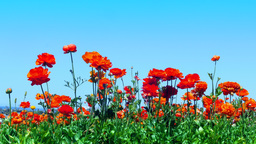 Orange ranunculus flower blooms Footage