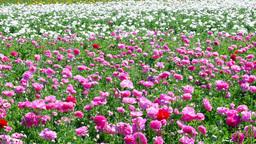 Pink ranunculus flower blooms Footage