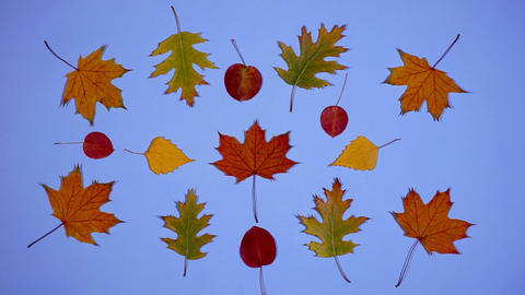 Leaves are dancing. Stop motion animation with autumn leaves on a blue Footage