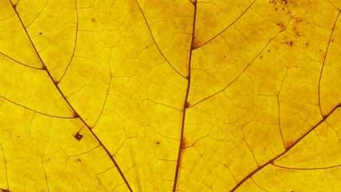 Yellow autumn leaf close up. Leaf texture background Footage