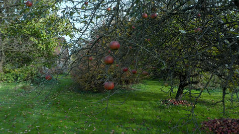 Red apples hanging from branch in an ecological orchard Footage