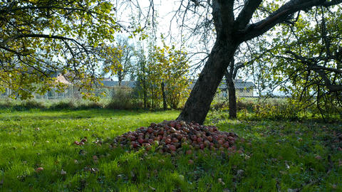 Pile of apples beneath an apple tree in an orchard Photo