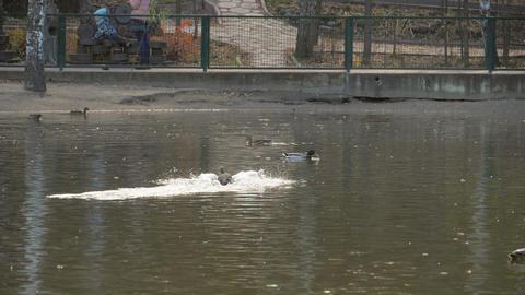 Male mallard duck flying Live Action