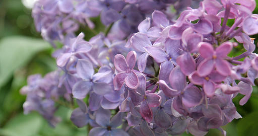 4K - Lilac flowers in the parh close up Live Action
