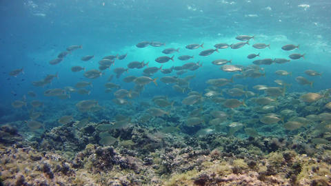 Underwater landscape - Salema fish school in a reef - Marine sea life Live Action