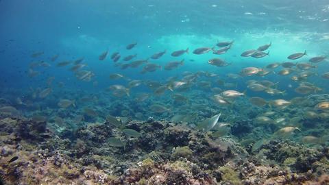 Underwater landscape - Salema fish school in a reef -... Stock Video Footage