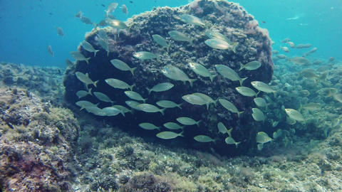 Nature underwater - Salema fish school in a reef Footage