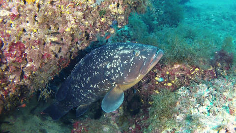 Marine life - Big grouper fish in a reef Live Action