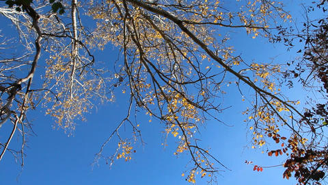 Crowns of popplar with yellow leaves in autumn and blue sky Live Action