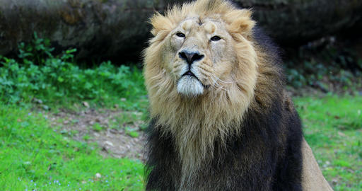African Male Lion Portrait Footage