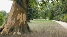 Walking alleys in the Muskauer park. Platanus/Plane tree. Park Muzakowski Footage