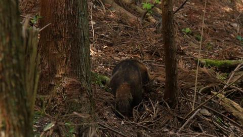 餌を探すアナグマ Footage