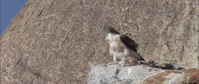 African Hawk Eagle Live Action