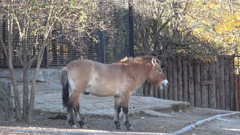 Equus przewalskii, wild Horse. Also known as Mongolian wild horse or Dzungarian Live Action