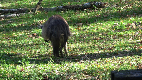 Brown Hyena (Parahyaena brunnea) walking Live Action