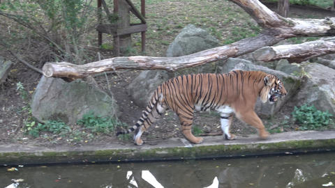 The Malayan tiger (Panthera tigris jacksoni) Footage