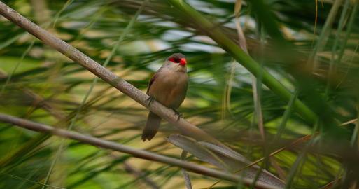 Small bird between reeds フォト
