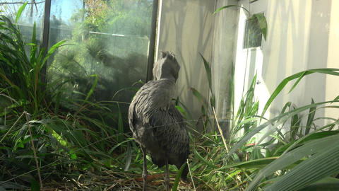 A shoebill (Balaeniceps rex) stork standing surrounded by... Stock Video Footage