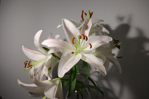 Lily flower Photo