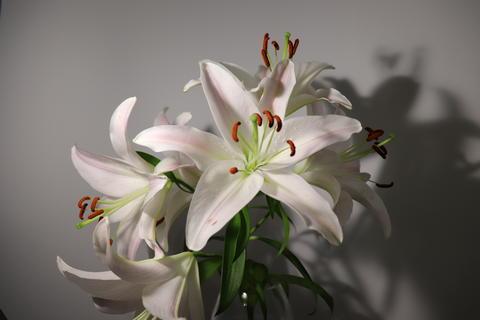 Lily flower Fotografía