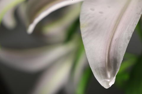 Lily flower drop Photo