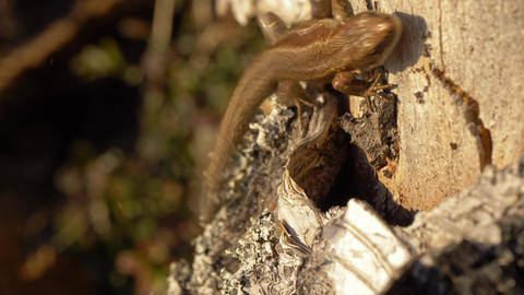 Viviparous lizard distracted by ants Stock Video Footage