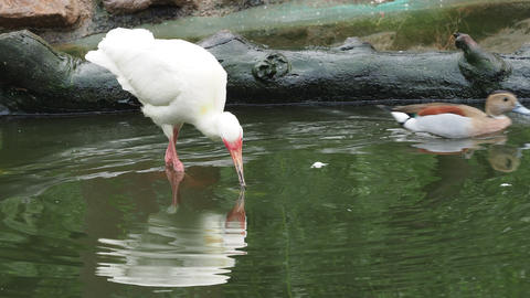 White ibis (Eudocimus albus) with a fish in its beak Footage