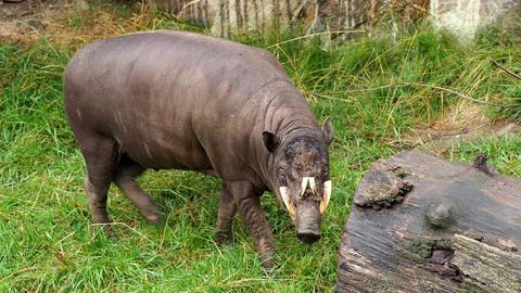 Babirusa Celebes eats grass endangered animal species. Babyrousa babyrussa Live Action
